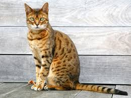 bengal cats picture gallery