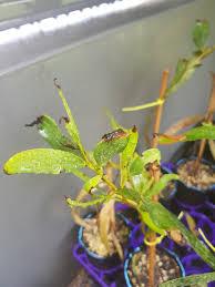 australis plants australian native plants what is causing this to happen australian native plants the