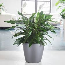 peace lily peace lily plant delivery shop peace lilies online my city