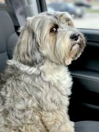 hair cuts for the tebelan terrier stink eye harper the tibetan terrier harperloveslife