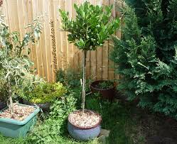 Lollipop Topiary Tree - expert advice on bay tree care gardenfocused co uk