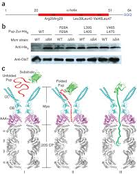 binding induced folding of prokaryotic ubiquitin like protein on