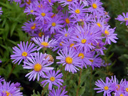 Flowers Of The Month List - aster genus wikipedia