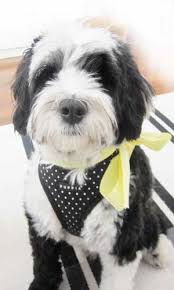 hair cuts for the tebelan terrier tibetan terrier a tomato in tribeca