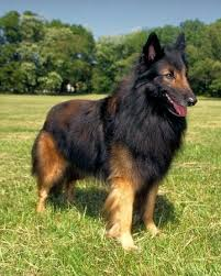 belgian shepherd dog temperament 54 best dog breeds images on pinterest animals puppies and