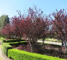 leaf ornamental plum prunus nigra