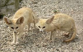 fennec fox wikipedia