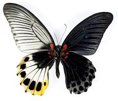 spectacular genetic anomaly results in butterflies with male and