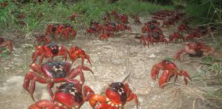 a tiny wasp could save christmas island u0027s spectacular red crabs
