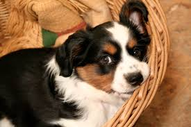australian shepherd dog puppies miniature australian shepherd dog puppy dog gallery