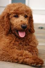 dogs with curly hair and floppy ears small dogs weighing under 20 pounds
