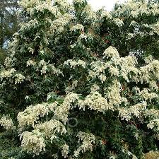 White Flowering Shrub - plant pictures shrubs with white flowers
