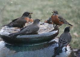 morris invasion of the robins u2013 the mercury news