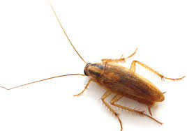 light brown roach looking bug 4 wisconsin cockroaches to watch out for batzner pest control