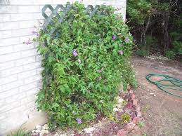 The Trellis And The Vine Cheap And Long Lasting Vine Trellis Grows On You