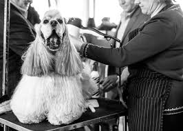 afghan hound vs wolfhound behind the scenes westminster dog show 2017 si com