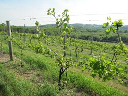 pruning the u201cinsurance u201d vines jones u0027 farmer blog