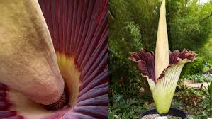 stinky u0027corpse flower u0027 spreads its fragrant bloom at san diego
