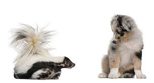 skiing with australian shepherd how to get rid of skunk odor from your dog