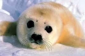 Baby Seal Meme - meme template search imgflip