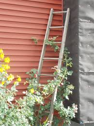ladder trellis for climbing rose bush i need an old wooden ladder