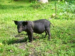 backyard pigs u2013 duckduckbro