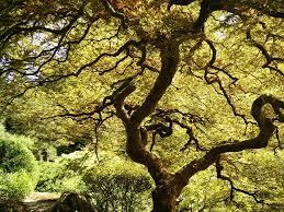 free photo japanese tree japanese maple free image on pixabay