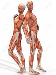 Male And Female Anatomy Differences Male And Female Anatomy Pictures At Best Anatomy Learn