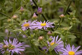 6 late flowering perennials lisa cox garden designs blog