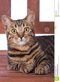 toyger cat on bench royalty free stock photos image 18282828