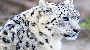 Mysterious Cat by Snow Leopard U2013 Mysterious Cat Dinoanimals Com