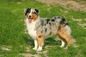 australian shepherd dog names 8 spotted dog breeds pawculture