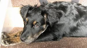 australian shepherd x rottweiler star the german shepherd mix dogs daily puppy