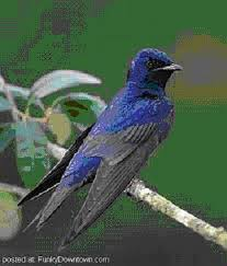 How To Attract Indigo Buntings To Your Backyard 15 Best Purple Martins Images On Pinterest Purple Martin