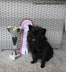 affenpinscher dogs for sale 2562007 jpg