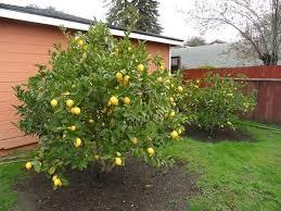 Backyard Fruit Trees Lemon Fruit Trees In The Backyard Time To Pruning Fruit Trees