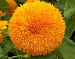 teddy sunflowers teddy sunflower etsy