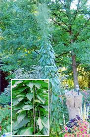indiana native plants mystery garden volunteer could be giant ironweed garden soil