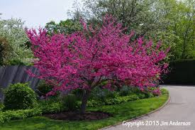 trees for small yards gardening guide