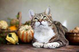 how to a happy safe thanksgiving with your cat cattime