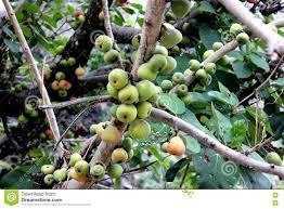 ficus racemosa cluster fig tree indian fig tree goolar stock