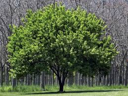 city residents get free and cheap trees nature and scenery