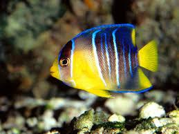 angelfish care breeding feeding diseases etc