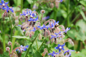 edible blue flowers 8 edible flowers that fit permaculture plot regenerative
