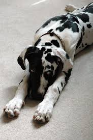 Blind Great Dane 12 Things They Don U0027t Tell You About Great Danes