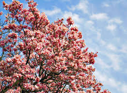 tree with pink flowers pink flowering trees