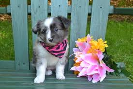 australian shepherd miniature view ad miniature australian shepherd puppy for sale