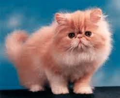 gatti persiani bianchi gatto persiano foto la razza e gli allevamenti di gatti persiani