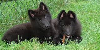 belgian sheepdog vs belgian shepherd belgian sheepdog information characteristics facts names