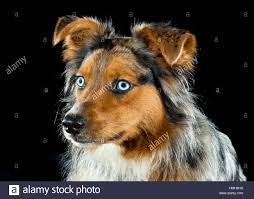 australian shepherd orange gorgeous blue eyed australian shepherd shepard tri color aussie